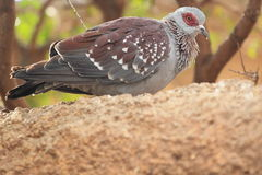 Speckled pigeon Royalty Free Stock Image