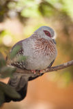 Speckled pigeon. On a branch Stock Photos