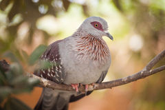 Speckled pigeon. On a branch Royalty Free Stock Photography