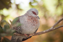 Speckled pigeon. On a branch Stock Image