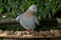 Speckled Pigeon Stock Photos