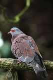 Speckled Pigeon (Columba guinea) Royalty Free Stock Images