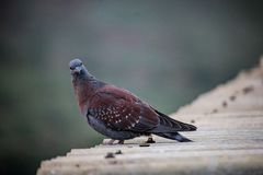 Speckled pigeon looking sitting on roof stock photo