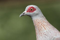 Speckled Pigeon Royalty Free Stock Photos