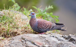 Speckled pigeon sitting on a rock Royalty Free Stock Photo