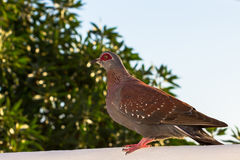 Speckled Pigeon sitting on white wall in front of greenery Royalty Free Stock Photos