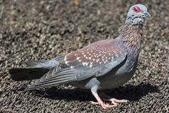 Speckled Pigeon, South Africa Stock Photo