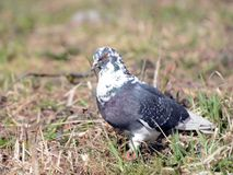 Speckled pigeon walking on dry grass Stock Images