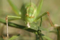 Speckled punctatissima Leptophyes Μπους-γρύλων Στοκ Εικόνα