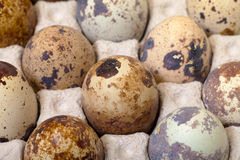 Speckled quail eggs in a carton box Royalty Free Stock Images