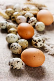 Speckled quail eggs and chicken eggs Stock Image