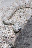 Speckled Rattel Snake Royalty Free Stock Images
