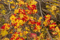 Speckled Red and Yellow Autumn Maple Leaves stock photography