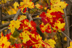 Speckled Red and Yellow Fall Maple Leaves Royalty Free Stock Photography