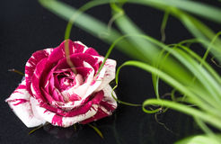 Speckled rose floating in water with green grass. Speckled white-pink rose floating in water with bunch of green grass Royalty Free Stock Photo