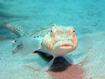 Speckled Sandperch Royalty Free Stock Photography