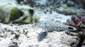 Speckled Sandperch στοκ φωτογραφία με δικαίωμα ελεύθερης χρήσης