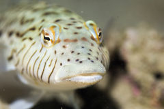 Speckled sandperch (parapercis hexoppthalma) Stock Photos