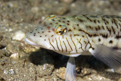 Speckled sandperch (parapercis hexoppthalma) Royalty Free Stock Image