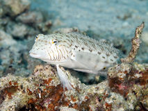 Speckled sandperch. In Red sea, Egypt, Hurghada Stock Photography