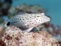 Speckled sandperch. In Red sea, Egypt, Hurghada Royalty Free Stock Images