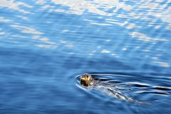 Speckled seal swimming in sea, Prince Rupert, BC Stock Photo