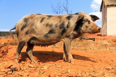 Speckled sow Royalty Free Stock Photography