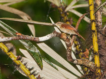 Speckled Spinetail Stock Photography