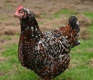 Speckled sussex hen Royalty Free Stock Photos