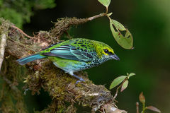Speckled Tanager in Costa Rica Stock Photos