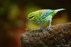 Speckled Tanagers, Tangara guttata, sitting on the brown stone. Tropic bird in the nature habitat. Wildlife in Costa Rica. Yellow Royalty Free Stock Photography