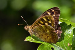 Speckled Wood Royalty Free Stock Image