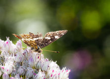 The Speckled Wood Stock Photo