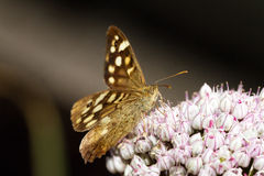The Speckled Wood Stock Photography