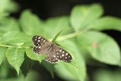 Speckled wood butterfly. Stock Photos