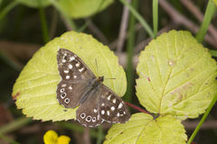 Speckled wood butterfly Royalty Free Stock Photography
