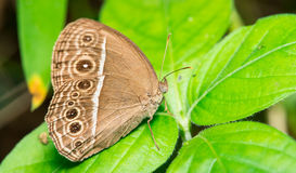 Speckled Wood Butterfly Royalty Free Stock Image