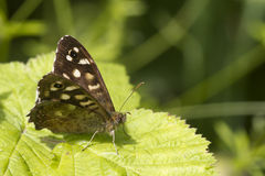 Speckled wood butterfly Stock Images