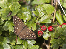 Speckled wood butterfly. A speckled wood butterfly pararge aegeria on a background of hawthorn leaves and ripe berries Stock Images