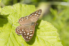 Speckled wood butterfly Royalty Free Stock Photo