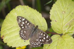 Speckled wood butterfly Royalty Free Stock Photos