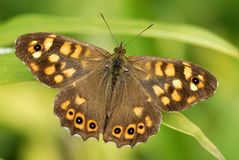 Speckled wood butterfly Stock Image
