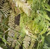 Speckled Wood butterfly Parage aegeria camouflaged by ferns. This Speckled Wood butterfly avoids being eaten by birds by camouflaging itself with a mottled stock images