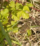 Speckled Wood Butterfly in dappled shade at base of hedgerow. Stock Photos