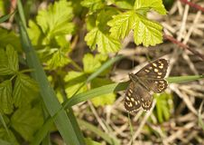 Speckled Wood Butterfly in dappled shade at base of hedgerow. Royalty Free Stock Images