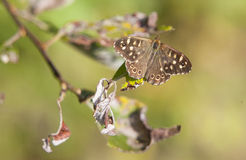 Speckled Wood Royalty Free Stock Photo