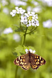 Speckled wood butterfly on flower stock photo