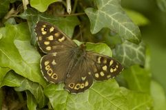 Speckled Wood. Butterfly on Ivy - Parage aegeria Royalty Free Stock Photo