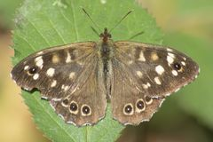 A speckled wood butterfly on Southampton Common Royalty Free Stock Photography