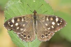 A speckled wood butterfly on Southampton Common Stock Photo